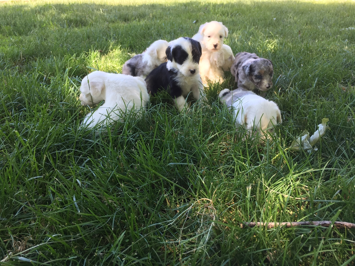 Sheepadoodle Puppies For Sale Iowa Sheepadoodle Puppies