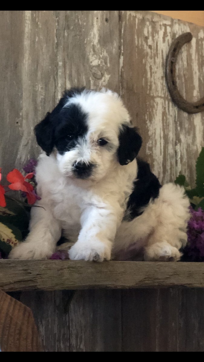 Sheepadoodle Breeder In Iowa Micro Mini Sheepadoodle